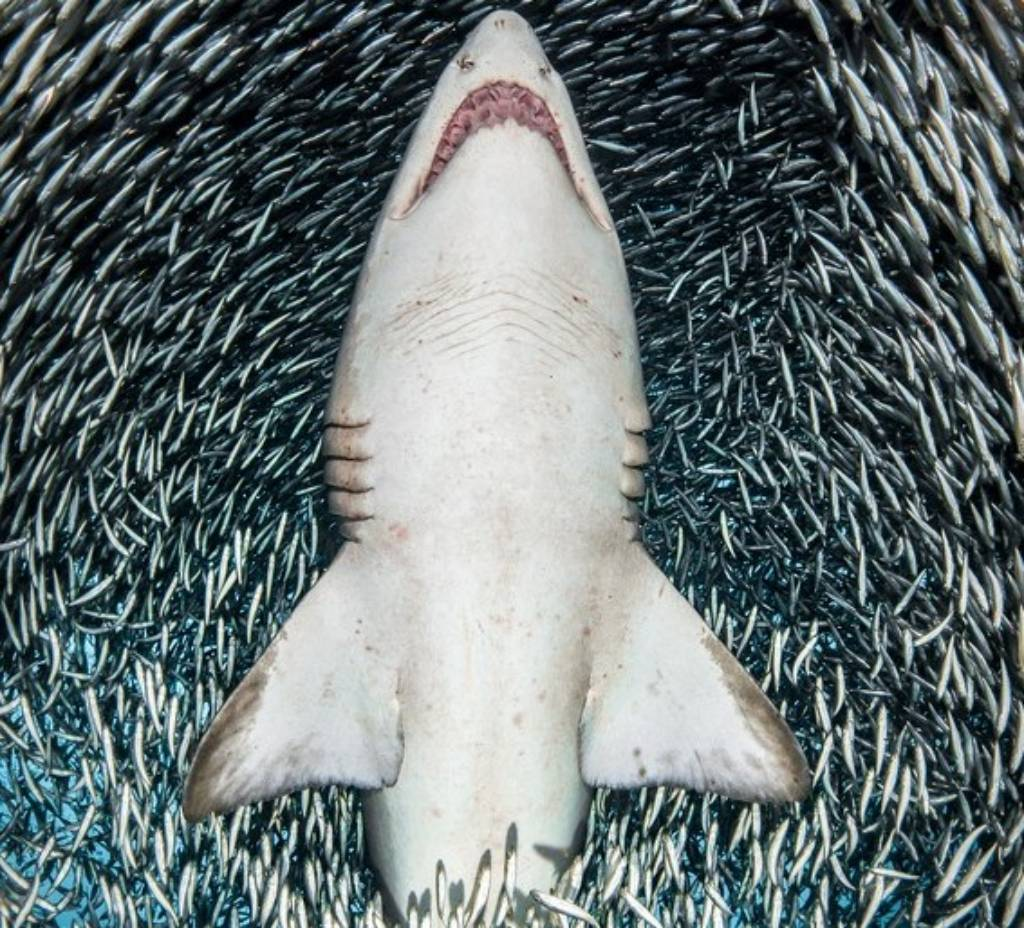 sand tiger sharkTanya Houppermans