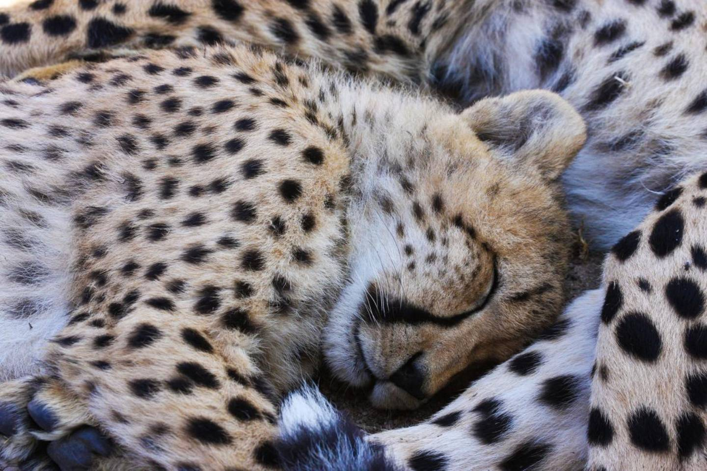 Cheetah cubs taking a nap