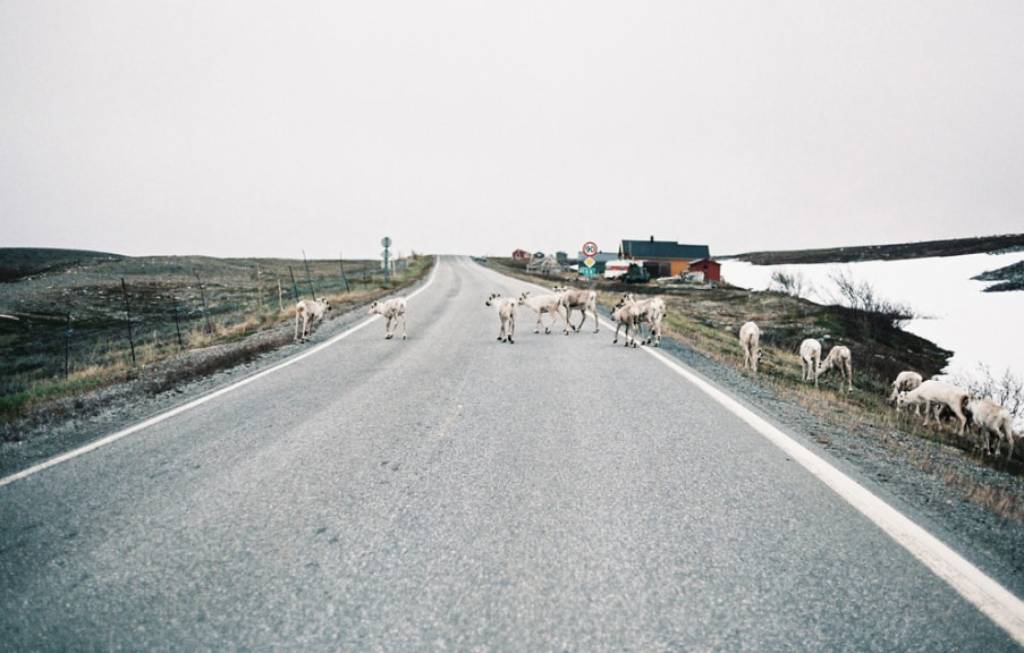 Photo de cerfs qui traversent une route
